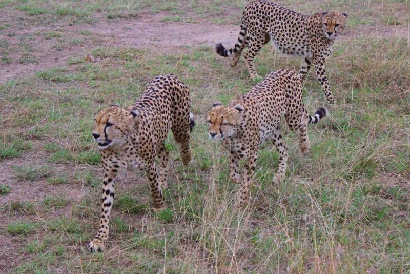 3 cheetahs walking in the Maasai Mara in Kenya