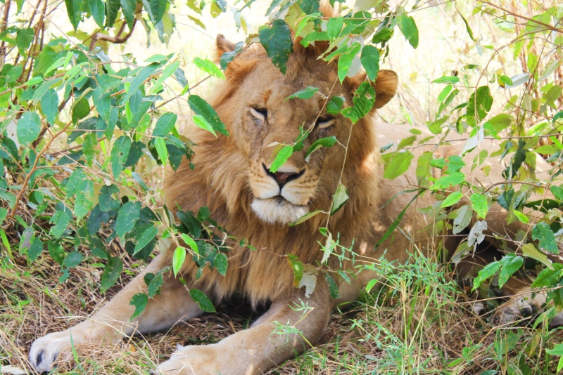 lion in the bushes