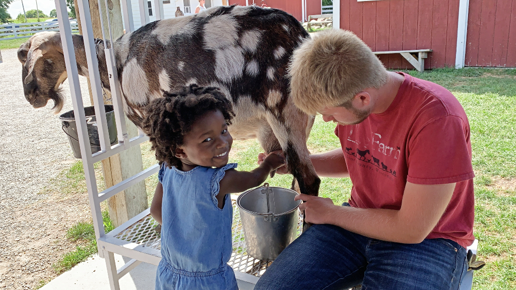 Little girl milking a goat at the farm in door county